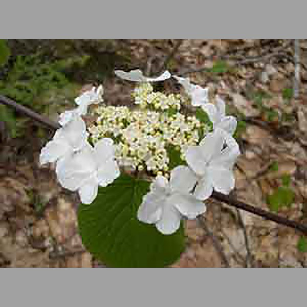 Woodland flowering shrub